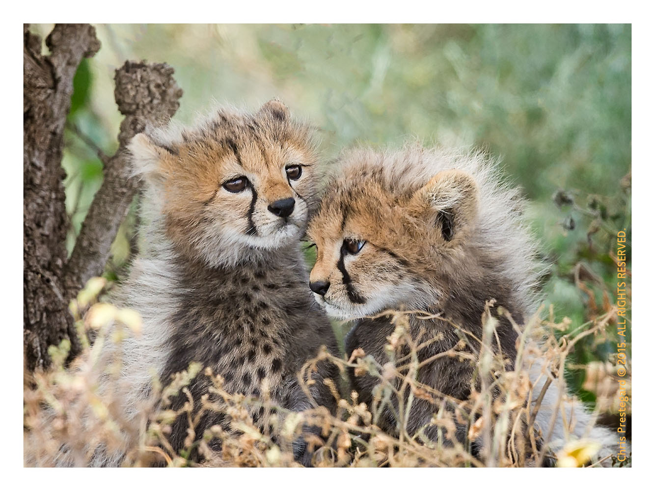 Cheetah 2802