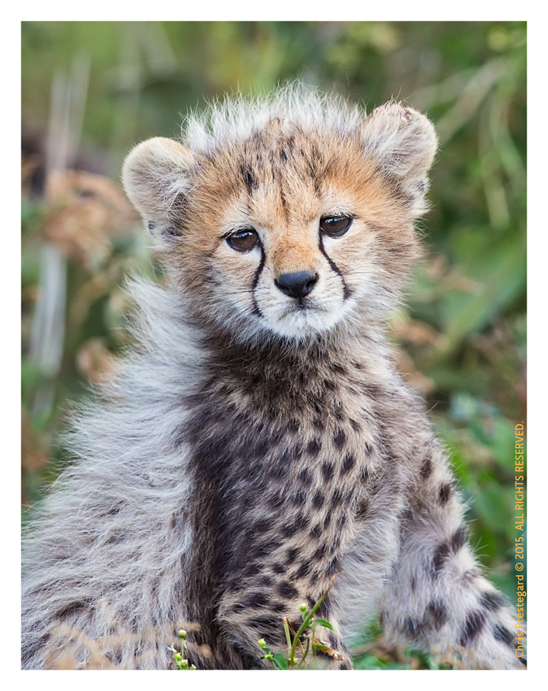 Cheetah2861