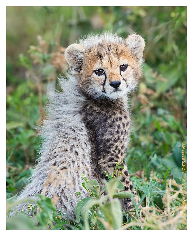 Cheetah 2916
