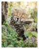 Cheetah 3058