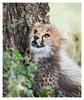 Cheetah 3112