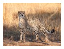 Cheetah3297Pose_Aug16-2010