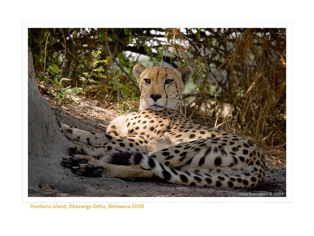 Cheetah4525_9-17-07