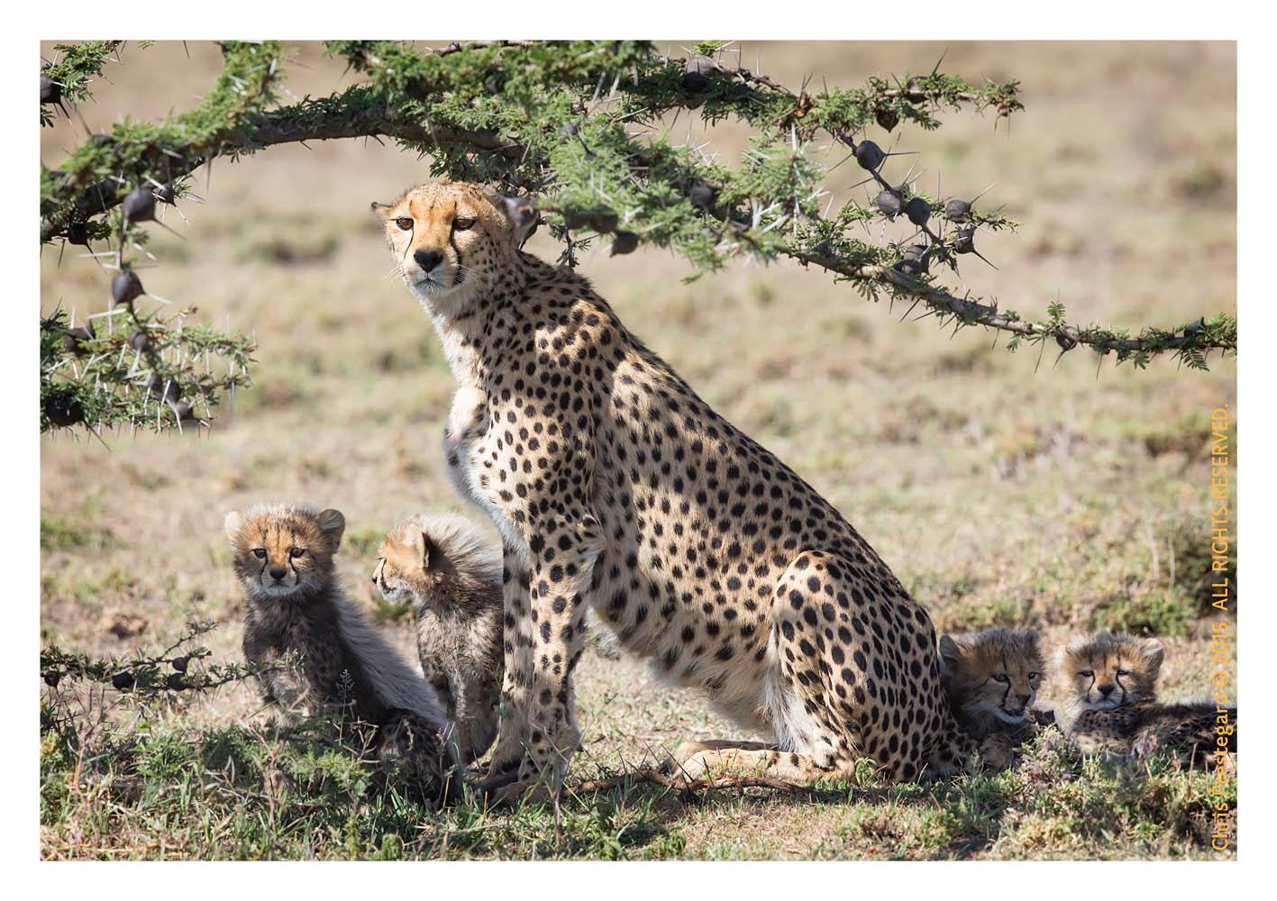 Cheetah 4539