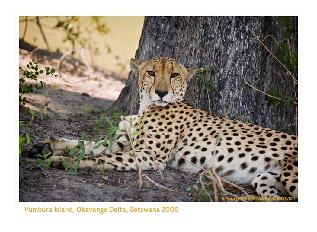 Cheetah4640_9-17-07