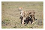 Cheetah 5101