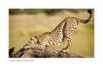 Cheetah5199_9-16-07