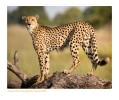 Cheetah5215_9-16-07