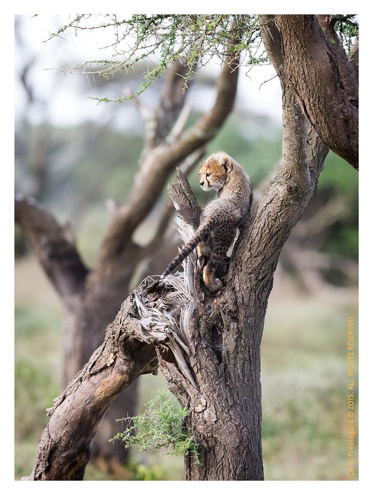 Cheetah 593