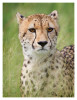 Cheetah609C_Apr21-2011