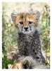 Cheetah6258
