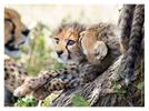 Cheetah 6484