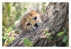 cheetah 6668