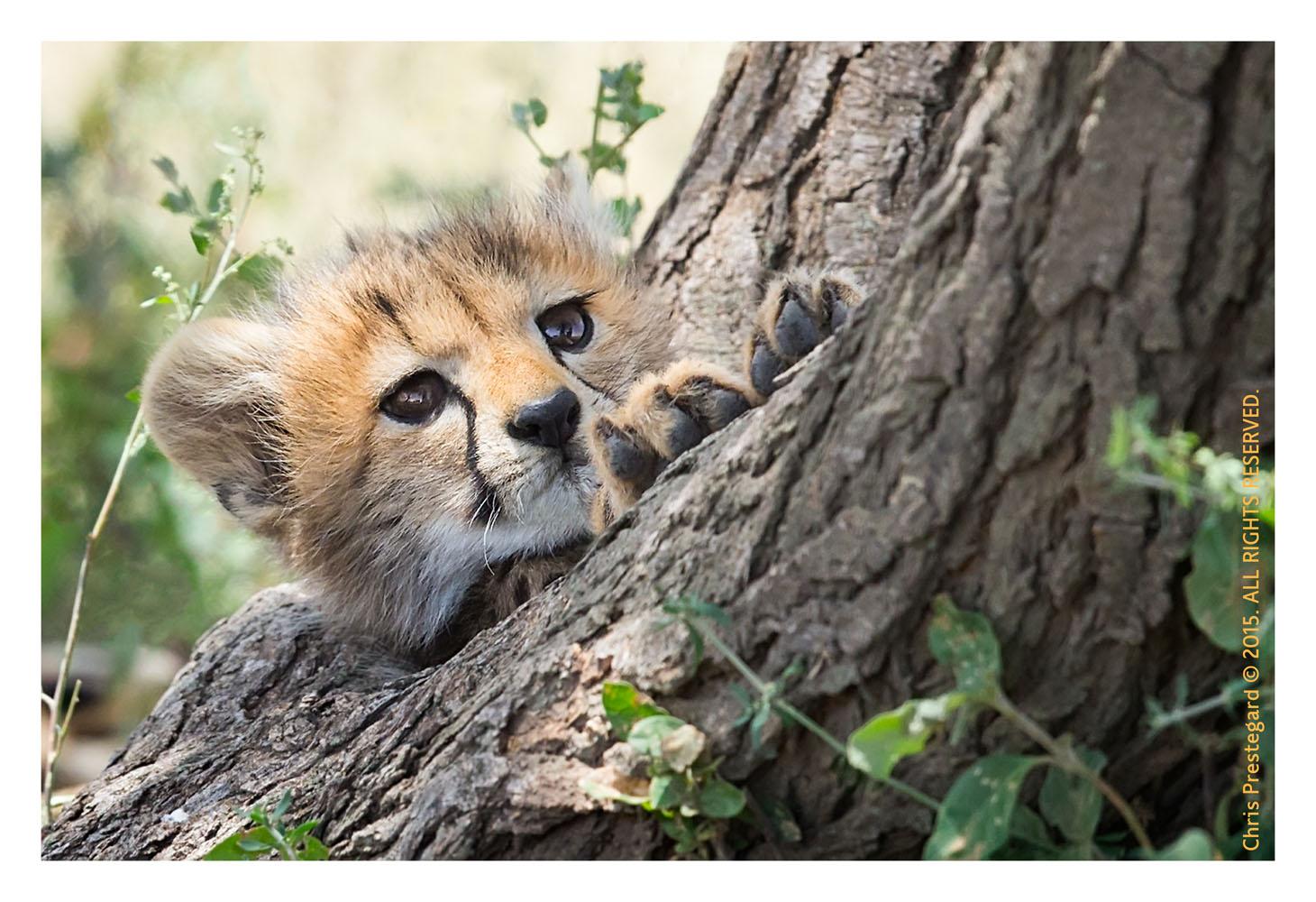 Cheetah 6672