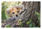 Cheetah 6676