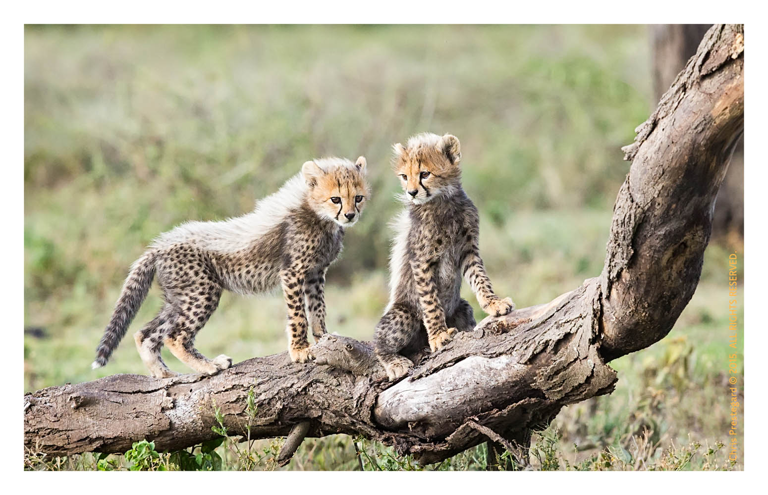Cheetah708