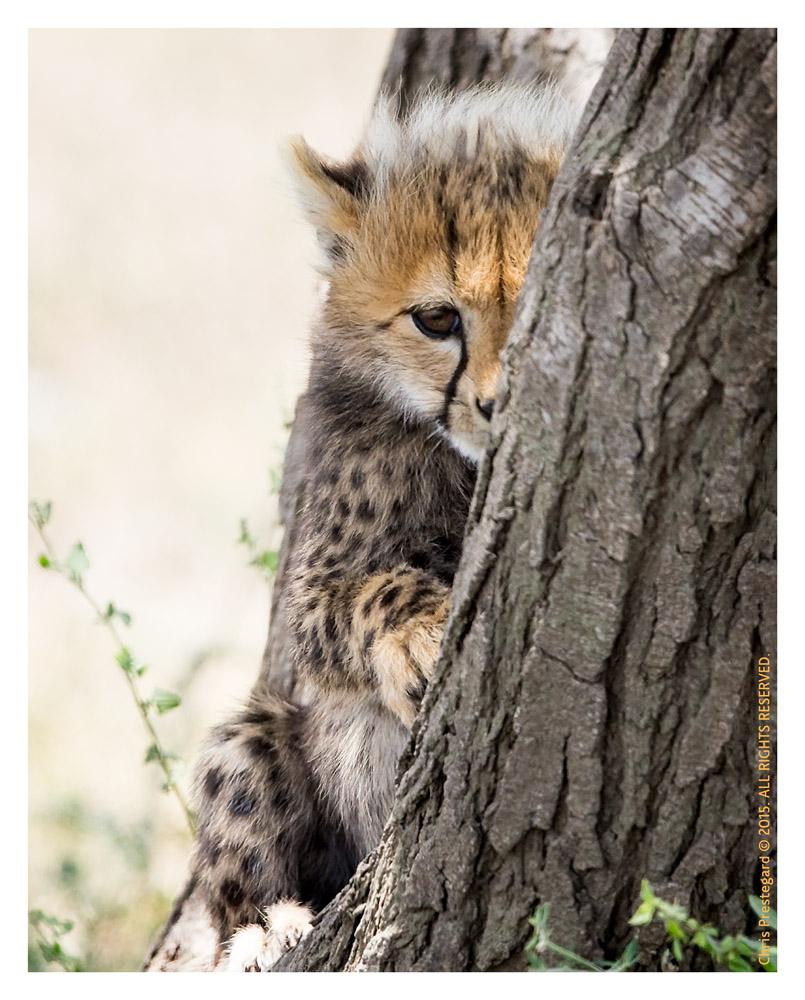 Cheetah 7239