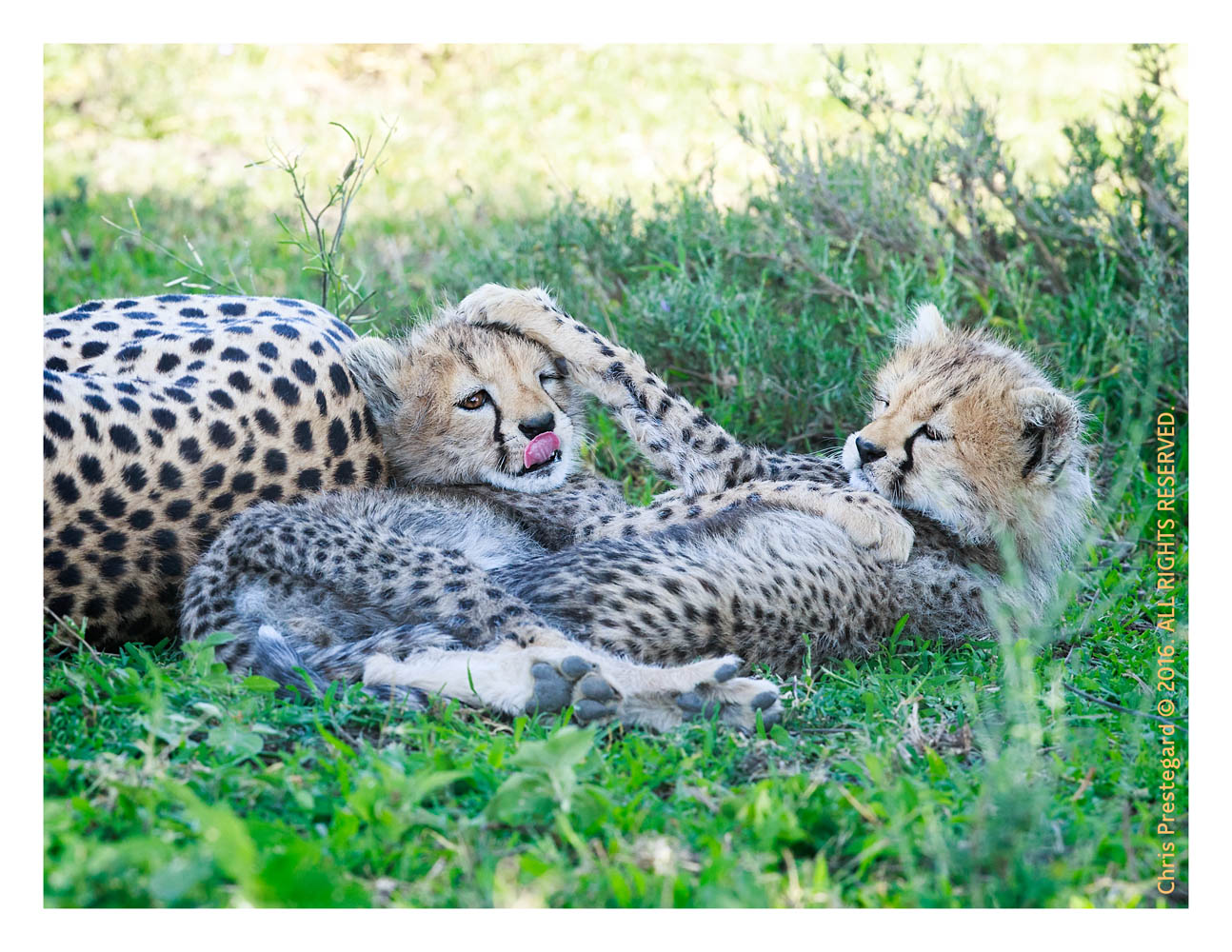 Cheetahs at Ndutu, Tanzania Feb. 2016