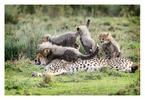 Cheetah 790