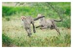 Cheetahs at Ndutu, Tanzania Feb. 2013