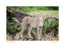Cheetah8061-Oct4-013