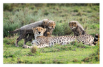 Cheetah 818