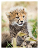 Cheetah 8689