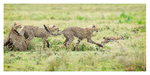 Cheetahs at Ndutu, Tanzania Feb. 2013