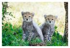 Cheetahs at Ndutu, Tanzania Feb. 2016