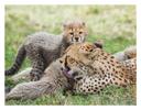 Cheetah 8913