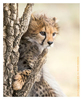 Cheetah 9048