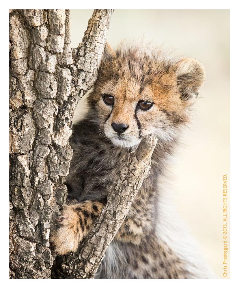 Cheetah 9059