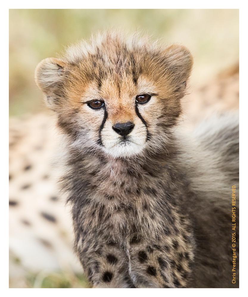 Cheetah9148