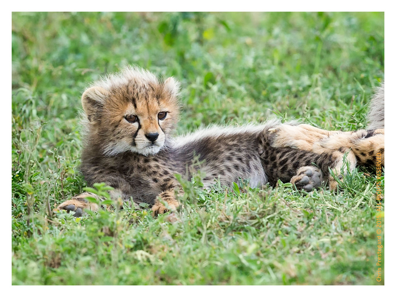 Cheetah 9179
