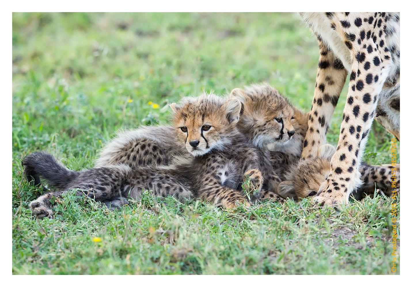Cheetah9291