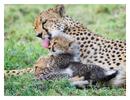Cheetah 9448