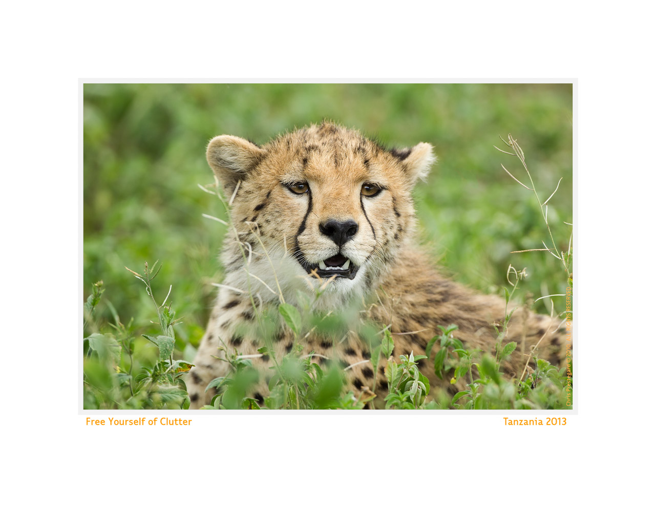 Cheetah954-Oct6-2013