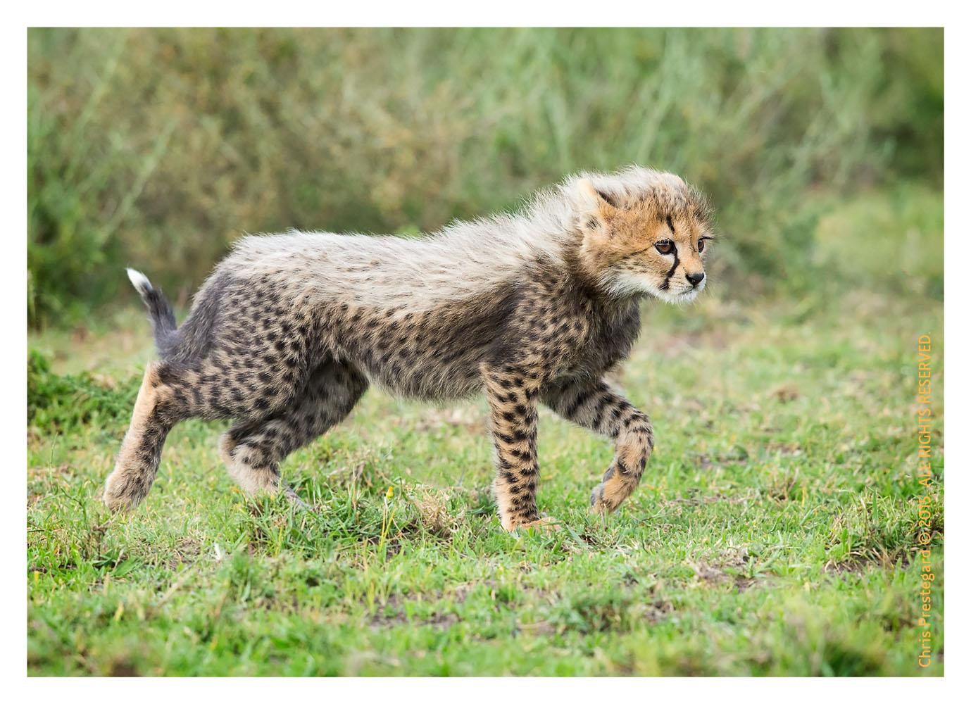 Cheetah 9746
