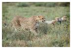 Cheetah 9870