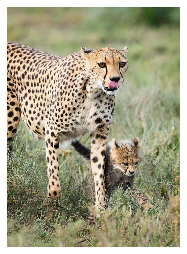 Cheetah 9934