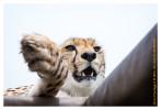 CheetahClaw4862-Jun10-2014