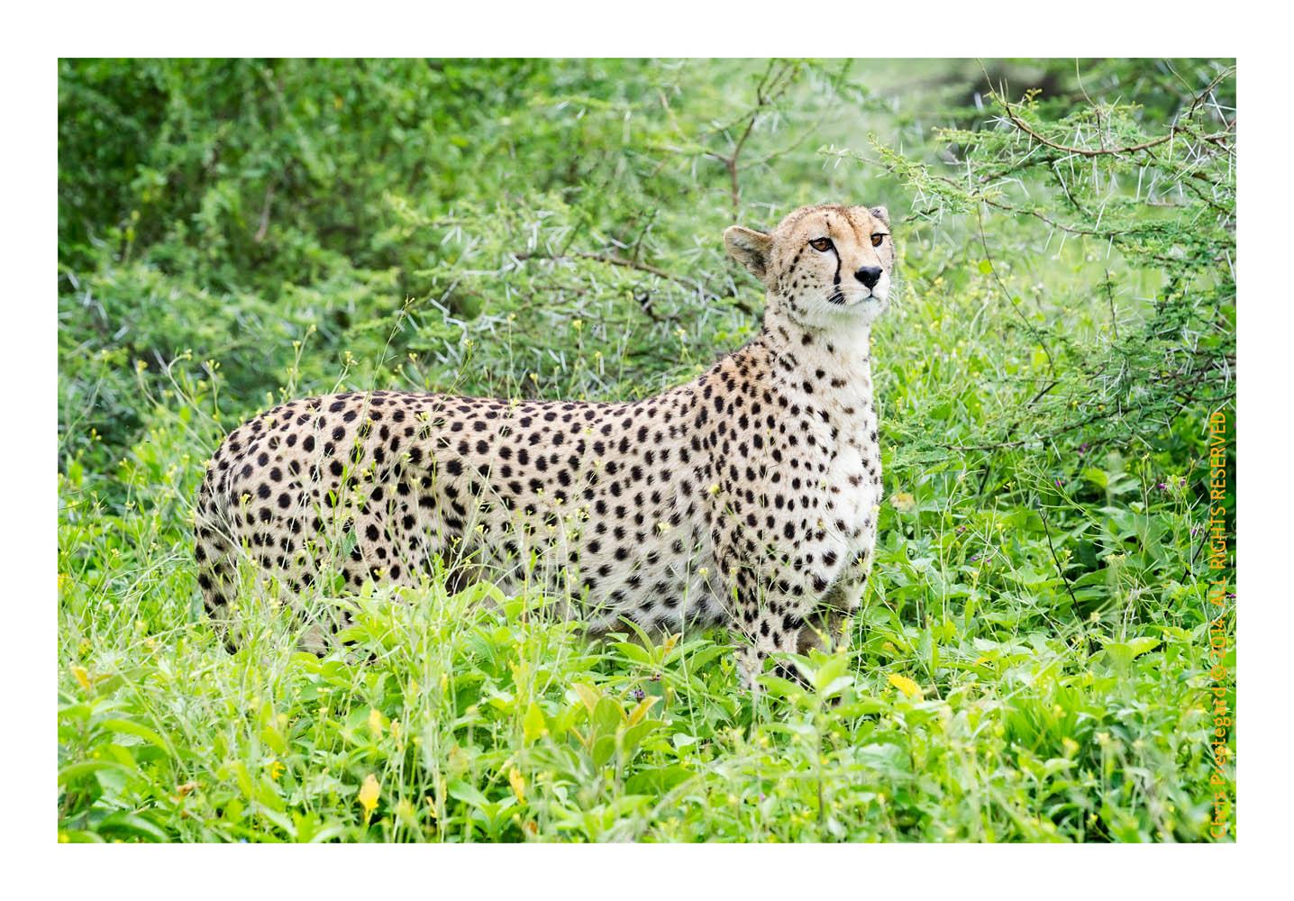 CheetahCub3989-Apr22-2014