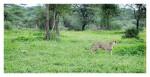 CheetahCub4165-Jun10-2014