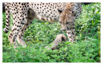 CheetahCub5564-Apr22-_2014