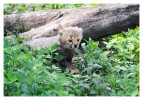 CheetahCub5633-Apr22-2014