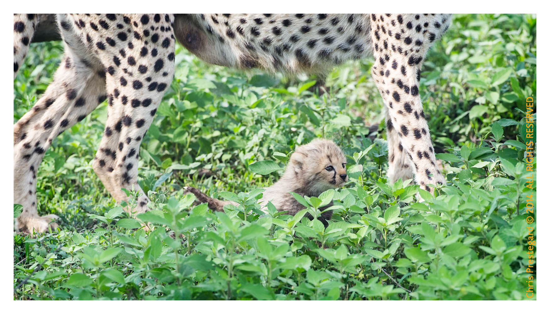 CheetahCub5654-Apr22-2014