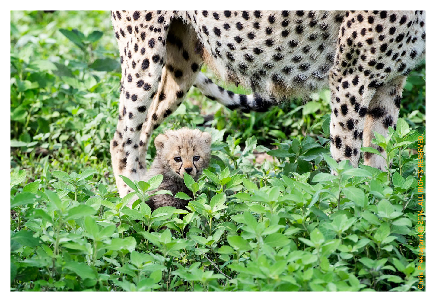 CheetahCub5671-Apr22-2014