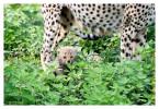CheetahCub5671-Apr22-2014