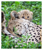 CheetahCub5846-_Apr22-2014