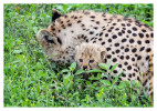 CheetahCub5921-Apr22-2014
